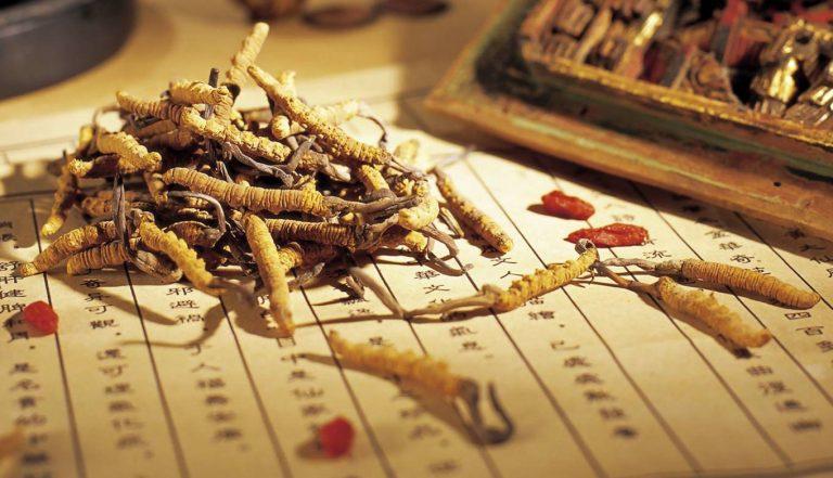 Đông trùng hạ thảo là dạng ký sinh giữa loài nấm Ophiocordyceps sinensis với ấu trùng bướm